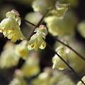 黄色い花繋がりで