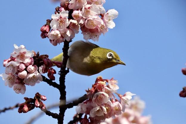 写真: お花メジロ一番乗り~