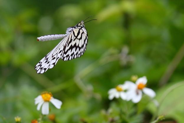 日本最大級の蝶