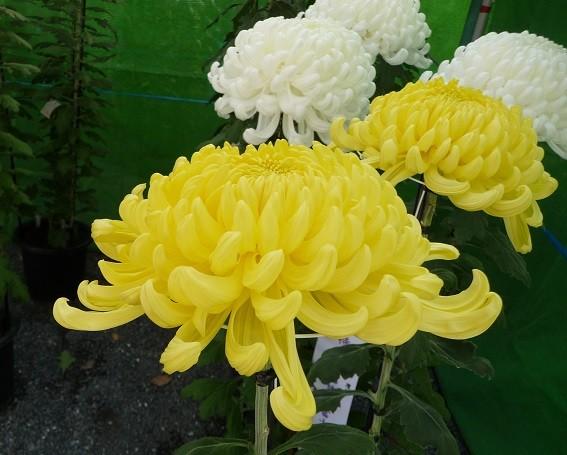 秋の花 菊