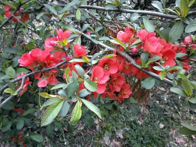 木瓜[ぼけ]の花
