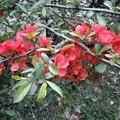 写真: 木瓜[ぼけ]の花