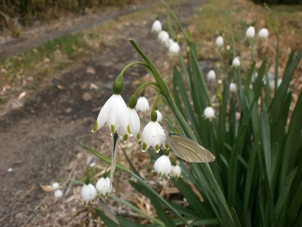 スノーフレークと蝶