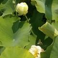 写真: 咲き始めの蓮