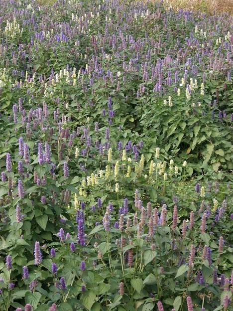 白と紫の花畑