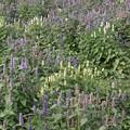 Photos: 白と紫の花畑