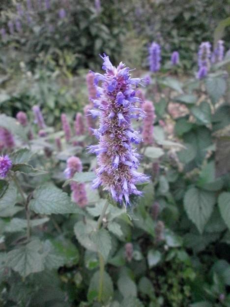 シソ科の花