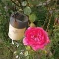 Photos: 薔薇とソーラーライト