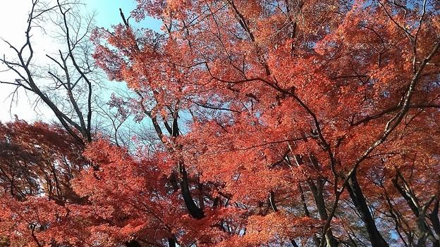 御殿山公園の紅葉3