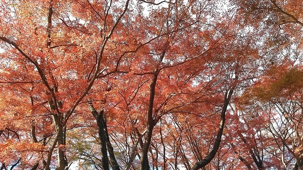 御殿山公園の紅葉2