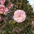 Photos: ピンクの山茶花