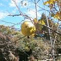 Photos: 花梨の実