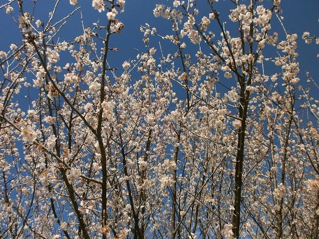 さくらんぼの花々
