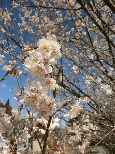 さくらんぼの花2