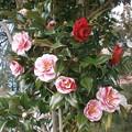Photos: 椿の花々