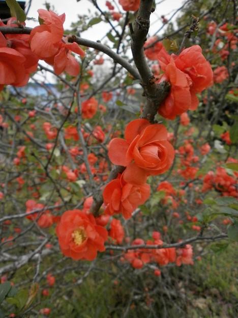 八重咲の木瓜
