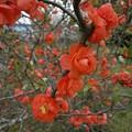 Photos: 八重咲の木瓜
