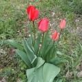 Photos: Red Tulip