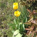 Photos: Yellow Tulip