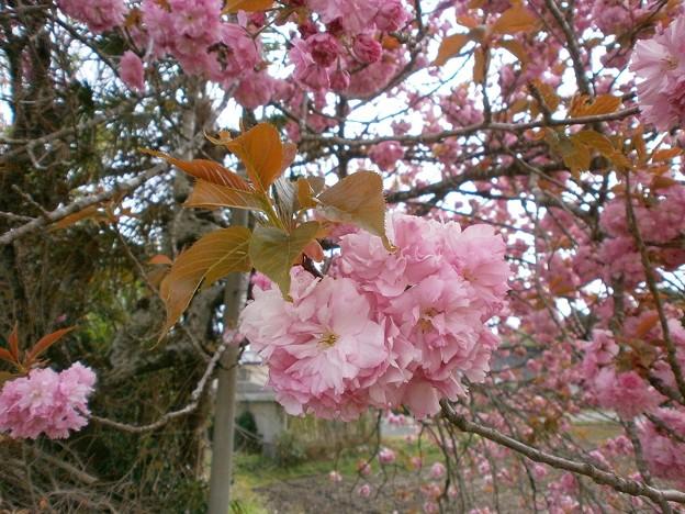 八重桜_01