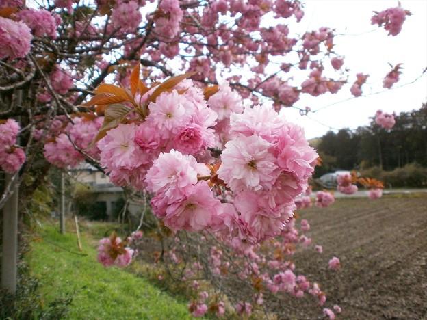 八重桜_02