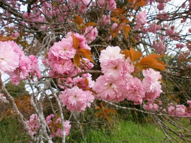 八重桜_03