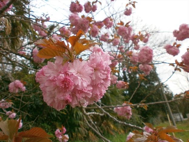 八重桜_04