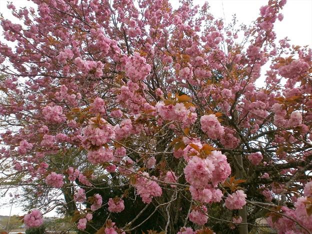 八重桜_05
