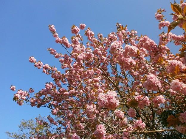 八重桜_07