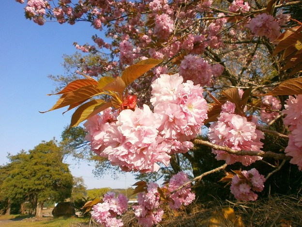 八重桜_08