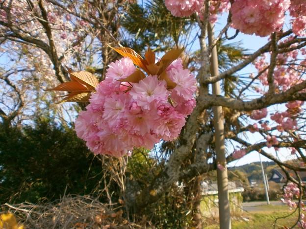 八重桜_09