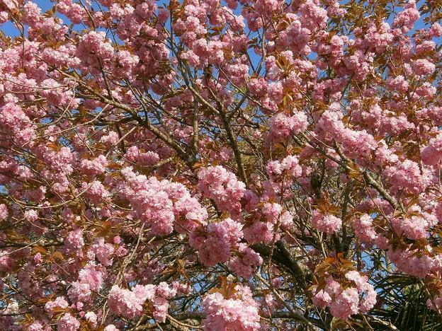 八重桜_10