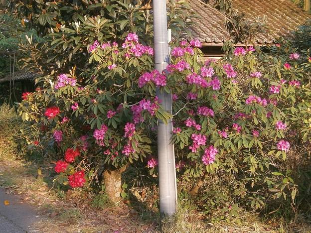 石楠花の花々