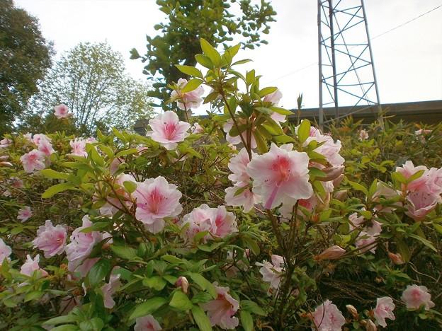 サツキの花々
