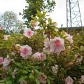 Photos: サツキの花々