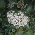 ガマズミの花1