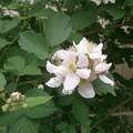 Photos: Blackberry Flower