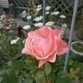 Photos: Pink Rose