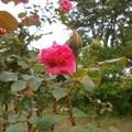 Photos: Rose2020_1