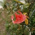 Photos: Rose2020_2