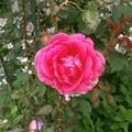 Photos: Rose2020_3