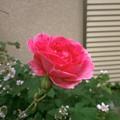 Photos: Rose2020_4