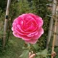 Photos: Rose2020_5