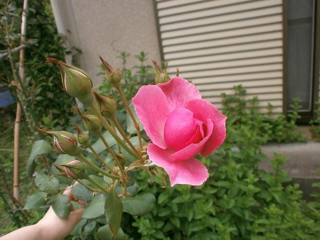 Photos: Rose2020_6