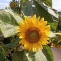 August SunFlower