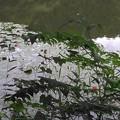 Photos: 池のスイレン