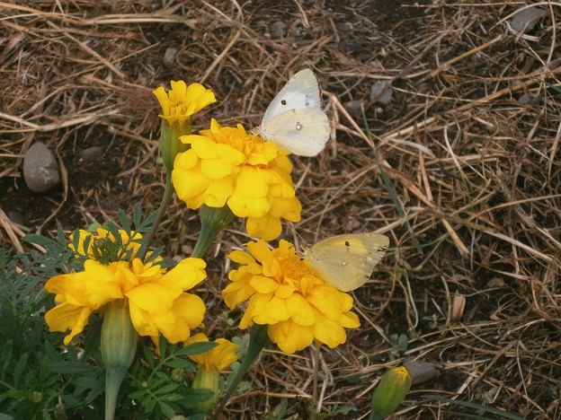 マリーゴールドと蝶×2