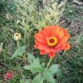 秋の百日草