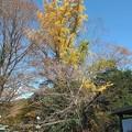 Photos: 銀杏の木