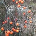 Photos: 柿の木